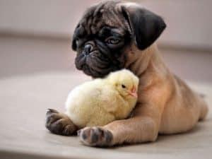 puppy cuddling duckling