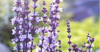 clary sage flowering herb