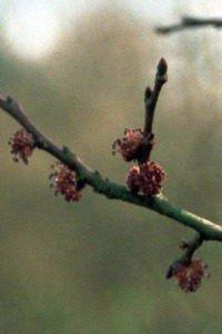 bach flower remedy elm
